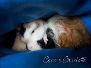Coco&Charlotte traze dom!