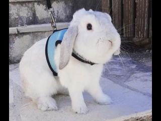 Dobby - bijeli ovnoliki kunić traži novi dom